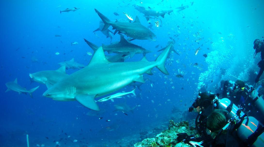 Haaienbescherming vrijwilligers en medewerkers duiken voor de kust van Fiji tijdens het natuurbehoud project in het buitenland